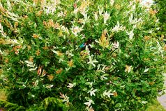 An unusual bush in a park with colorful foliage.  Royalty Free Stock Photo