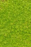 An unusual carpet of green Royalty Free Stock Photography