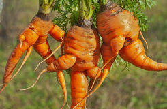 Unusual carrots 10 Stock Image