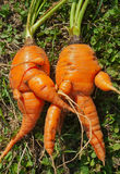 Unusual carrots 6 Royalty Free Stock Image