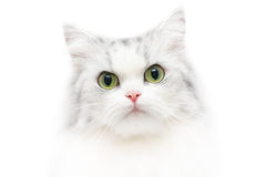 Unusual cat portrait, white background, serious look Royalty Free Stock Image