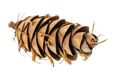 Unusual cedar pine cones is isolated white background Royalty Free Stock Image
