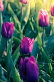 Spring colorful tulips field, natural floral background. ultra violet concept - color of the year 2018 stock photo