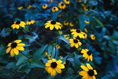 Unusual contrast composition of black-eyed Susan flowers. Bright contrast composition of yellow black-eyed Susan rudbeckia flowers on cold green blurry royalty free stock photo