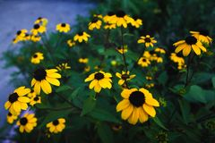 Unusual contrast composition of black-eyed Susan flowers. Bright contrast composition of yellow black-eyed Susan rudbeckia flowers in warm key stock image