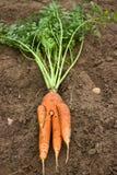 Unusual crop of carrots Stock Photos