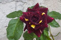 Unusual Dark Burgundy and Yellow Bicolor Rose Royalty Free Stock Images