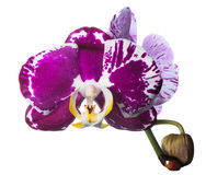Unusual dark orchid isolated on the white Royalty Free Stock Image