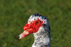 Unusual Duck. Closeup of duck with red face, red bulbous area around beak, and black and white peppered feathers.  Isolated against grass Royalty Free Stock Photo