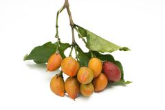 Unusual edible fruit Bunchosia argentea called caferana in Brazil in white background close.  royalty free stock photos