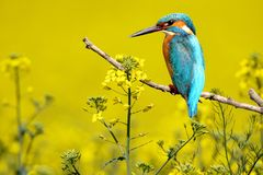 Unusual and exotic collage of kingfisher. Among the flowering royalty free stock photography