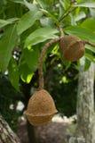 Unusual exotic Monkey pot tree. Closeup of the exotic Monkey pot tree with 2 nuts (Lecythis elliptica royalty free stock photo