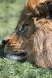 Unusual facial portrait of sleeping Barbary African Atlas Lion Royalty Free Stock Photography