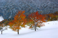 Unusual Fall. Two beech with bright autumn leaves and the unexpected snow. The picture was taken in the Ukrainian Carpathians, in the middle of October Stock Photos