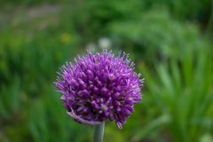 Alium shoenop rasumh /chive-onion royalty free stock images