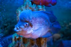 Flower Horn fish macro in a blue toning. Unusual Flower Horn fish macro in a blue toning royalty free stock image