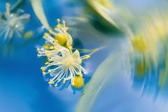 Unusual flowers. Close-up flowers of linden tree in water stock photo