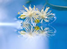 Unusual flowers. Close-up flowers of linden tree in water royalty free stock photo