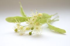 Unusual flowers. Small flowers of linden tree close-up Stock Images