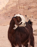 Unusual goat in Petra. Brown damascus goat near ancient nabatean ruins in city Petra, Jordan, November 2012 Stock Photo