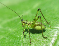 Unusual grasshopper Royalty Free Stock Photos