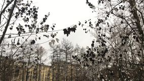 Unusual gray black maple leaves. Hanging on tree in winter in a city Park, the gray sky on the background of houses stock video