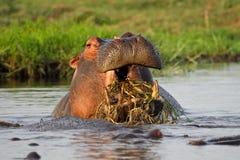 Unusual hippo behaviour: chewing aquatic plants stock image