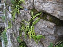 Unusual interesting plants grow on the stone wall of the house royalty free stock photo