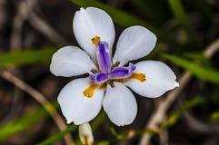 Butterfly White Iris Diplarrena moraea stock photos