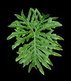 Unusual Leaf Stock Photography