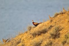 An unusual morning photo of a male and two female pheasants descend along a steep slope. An unusual morning photo of a male and three female pheasants descend Royalty Free Stock Image
