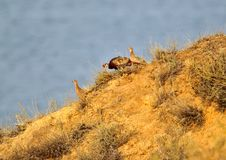 An unusual morning photo of a male and two female pheasants descend along a steep slope. Against a background of blue water Royalty Free Stock Photos