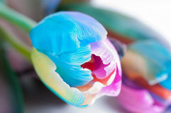Unusual multi colored tulip stock photos
