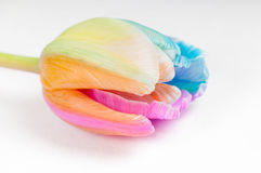 Unusual multicolored tulip Stock Image
