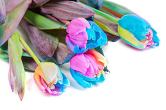 Unusual multicolored tulips Royalty Free Stock Image