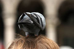 Unusual nest. Pigeon sitting on men's head Stock Photography
