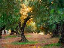 Unusual olive tree Royalty Free Stock Photo