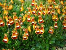 Unusual Orange Calceolaria Flowers And Green Leaves Royalty Free Stock Images