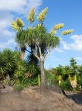 Unusual palm tree with stems of blooms growing out of top in a garden surrounded by yuccas with blue sky behind royalty free stock photos