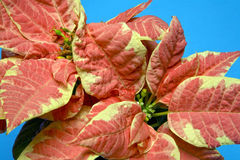 Unusual peach colored poinsettia. On a bright blue background royalty free stock photo