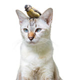 Unusual pet friendship between a cute cat and little bird, isolated on a white background. Little songbird sitting on the head of a common house cat isolated Royalty Free Stock Images