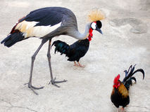 Unusual Pets / Friends!. Weird and cute uncommon animals birds pets - A crowned crane being kept as a pet with a few roosters.  They seem to live together very Royalty Free Stock Images