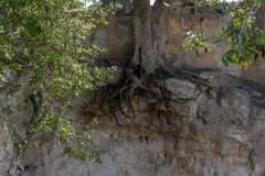 Exposed roots on an oak tree growing on a cliff. Unusual picture of exposed roots on an oak tree growing on a cliff Stock Photos