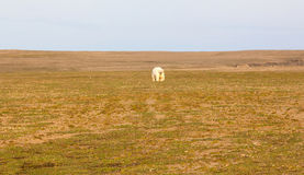 Unusual picture: polar bear on land in the polar day period. Novaya Zemlya archipelago, South island Royalty Free Stock Photography