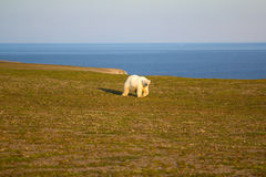 Unusual picture: polar bear on land in the polar day period. Novaya Zemlya archipelago, South island Stock Photography