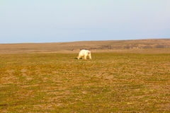 Unusual picture: polar bear on land in the polar day period. Novaya Zemlya archipelago, South island Stock Images