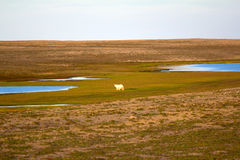 Unusual picture: polar bear on land in the polar Royalty Free Stock Photo