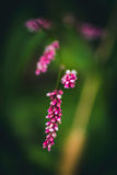 Unusual pink Polygonum Royalty Free Stock Photography
