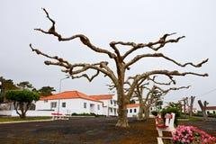 Unusual plane trees Royalty Free Stock Photo