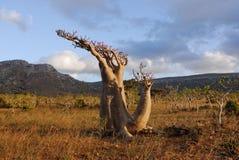 Unusual plant. Desert rose (adenium obesum) Royalty Free Stock Images